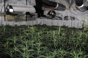 London Police Uncover Massive Cannabis Grow In City's Financial District